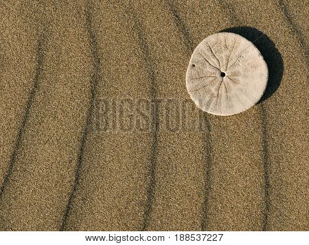 Sand dollar on textured, rippled, sand background