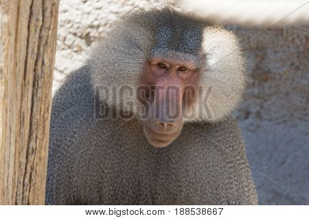 Hamadryas Baboon Papio hamadryas pavian close up portrait in the zoo.