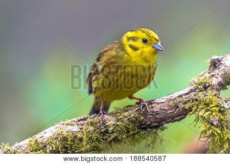 Yellowhammer On Branch