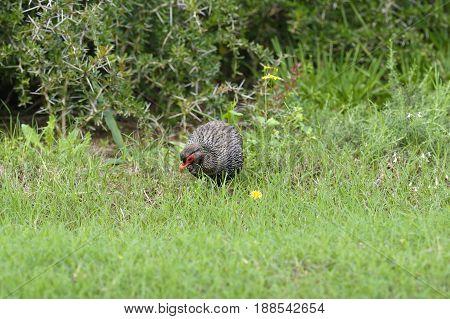 Red Necked Spurfowl, Addo Elephant National Park