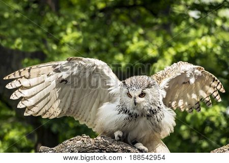 The Eurasian eagle-owl (Bubo bubo) start to fly. Owl also called European eagle-owl