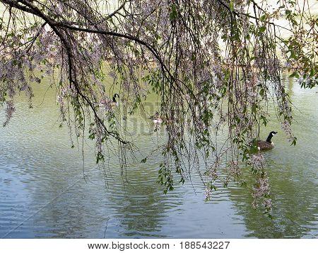 Cherry blossom over pond in Tysons Corner USA April 8 2010