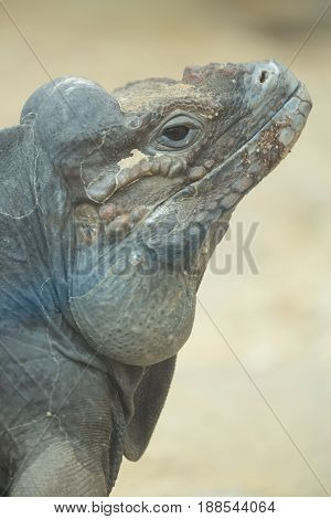 Close up portrait of head of a rhinoceros iguana.