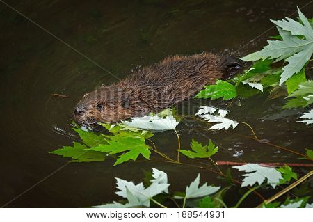 North American Beaver (Castor canadensis) Kit Swims Past Leaves - captive animal