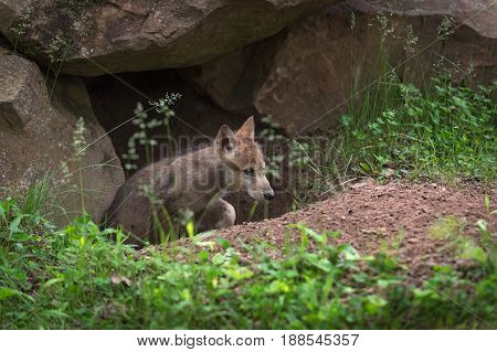 Grey Wolf (Canis lupus) Pup Crawls Up Out of Den - captive animal