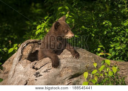 Black Bear Cub (Ursus americanus) Looks Right From Log - captive animal