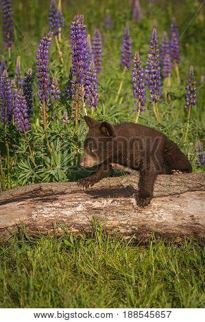 Black Bear Cub (Ursus americanus) Steps Over Log - captive animal
