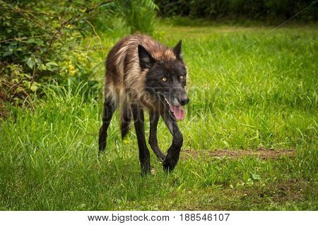 Black Phase Grey Wolf (Canis lupus) Trots Right - captive animal