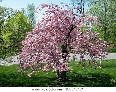 Arlington, USA - April 9, 2010: The sakura tree in Arlington National Cemetery.