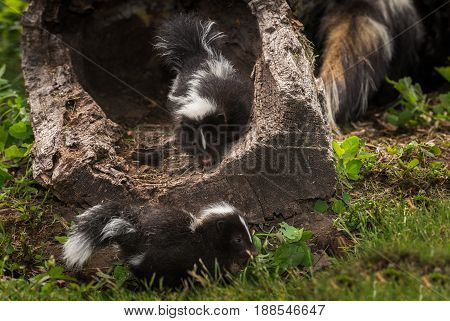 Striped Skunk Kit (Mephitis mephitis) Looks Out at Sibling - captive animals