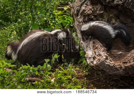 Striped Skunk Kit (Mephitis mephitis) Looks Out at Mother and Sibling - captive animals