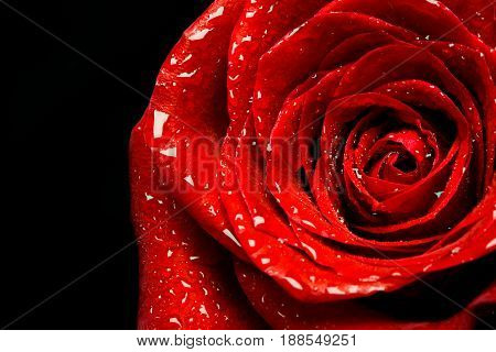 Red rose closeup on black background wallpaper