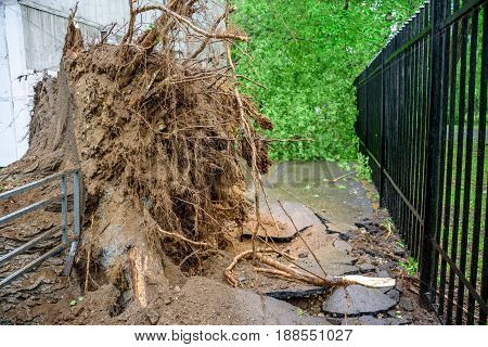 Gigantic fallen poplar tree toppled and cracks in asphalt as a result of the severe hurricane winds in one of courtyards of Moscow city