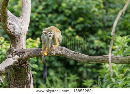 Portrait of squirrel monkey Saimiri sciureus sitting on a tree branch.
