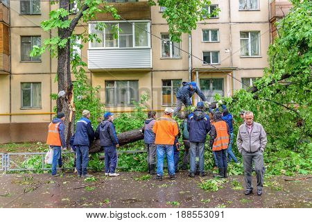 MOSCOW, RUSSIA - MAY 29, 2017: Group of janitors sawing fallen gigantic chestnut tree as a result of the severe hurricane winds in residential area of Moscow city