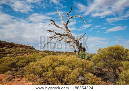 Lone dead tree at Kings Canyon of Northern Territory, Australia.
