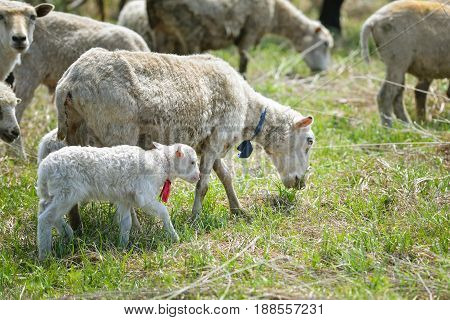 flock of sheep pasturing on green grass.