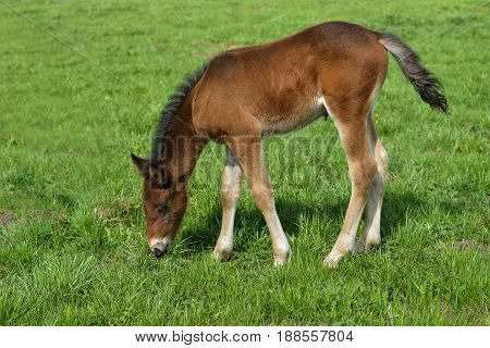 Adorable Cute little foal pasturing on green meadow, full length portrait.
