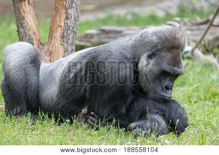 Male strong gorilla resting on the ground at the zoo.