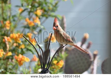 Female northern cardinal sitting on a garden ornament in the morning sun