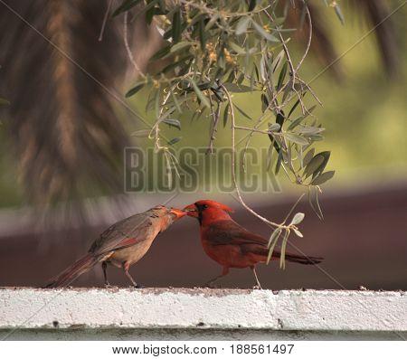 Male northern cardinal beak feeding a juvenile cardinal on the top of a wall