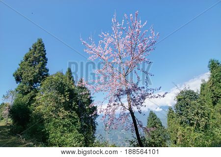 Colourful tree at Rabangla Sikkim amongst green trees and Himalayan Mountains Sikkim India