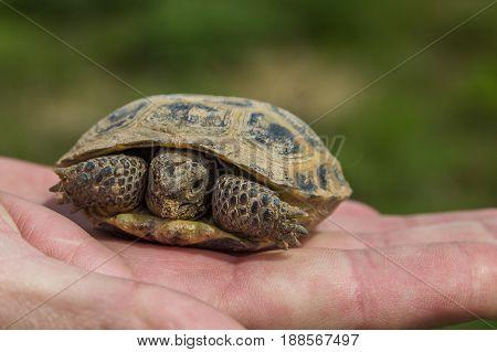 Turtle On The Palm. Little Steppe Tortoise In Spring, Almaty, Kazakhstan