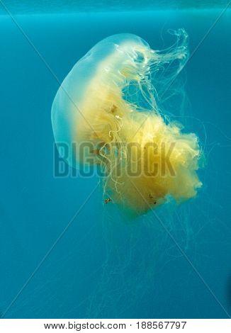 Egg Yolk Jelly Phacellophora Camtschaitica