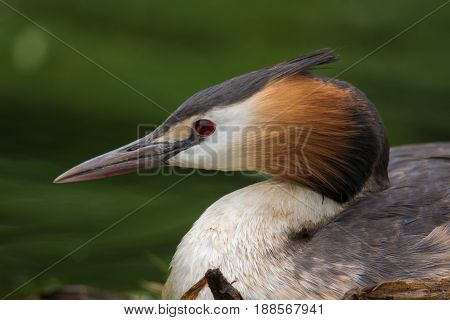 Great crested grebe (Podiceps cristatus) profile portrait. Elegant waterbird in the family Podicipedidae nesting on lake at Cardiff Bay Wales UK