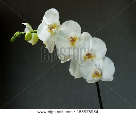Delicate orchid branch blossoming with large white flowers on gray background. Blooming twig of Phalaenopsis orchid flower.