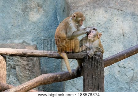 A long tail tailed macaque scratches another monkey.