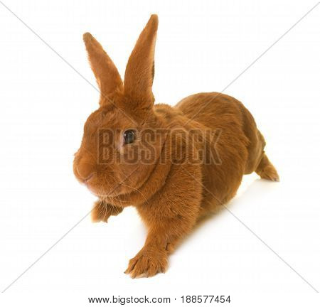 Fauve de Bourgogne rabbit in front of white background