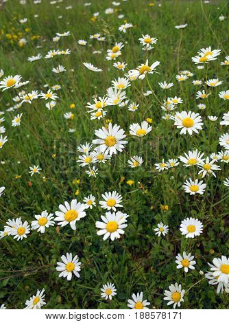 Ox Eye Daisies in a meadow of long grass in summer