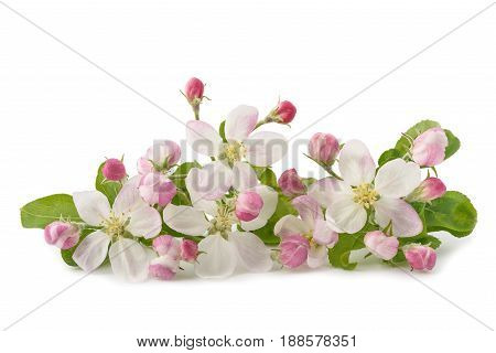 Apple Flowers With Buds