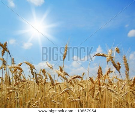 golden ripe wheat ears against the blue sky and the sun