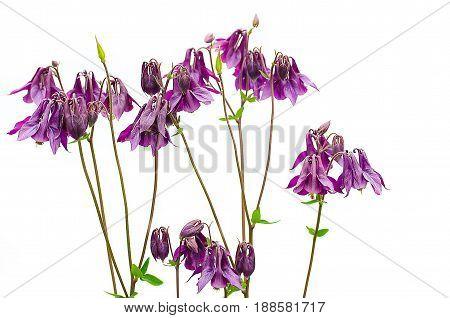 Good high columbine flowers spring outdoor growing