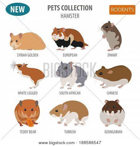 Pets_rodents_rat_1