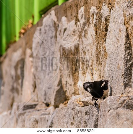 Closeup of magpie perched on a stone wall hunting for food on a bright sunny day