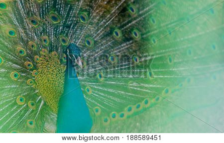 Extreme closeup of a beautiful blue peacock with his tail feathers extended out with a soft green blur in the foreground