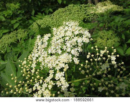 Elderflower with flowers in nature in spring, Sambucus nigra