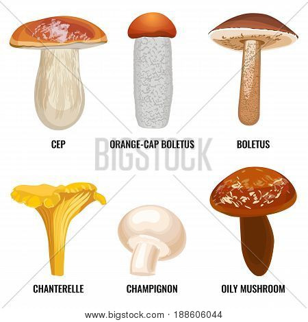 Set of funguses or mushrooms vector illustration on white background. Cep porcini, orange-cap boletus, chanterelle, tasty champignon, oily mushroom