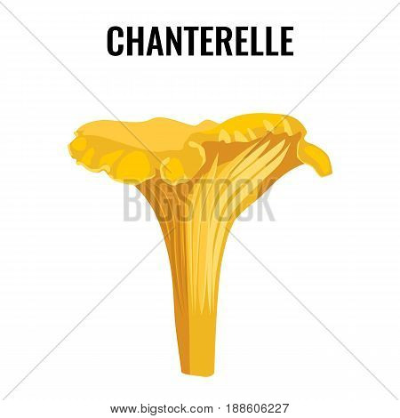 Chanterelle yellow fungus isolated on white background vector illustration. Mushroom edible healthy organic natural food
