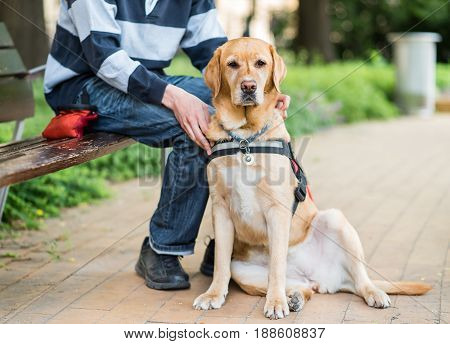 Guide Labrador Dog Is Relaxing With Owner