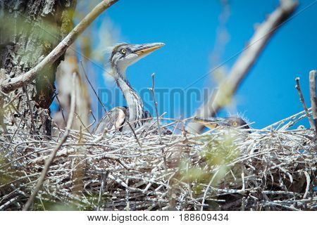 Beautiful Young gray herons in the nest