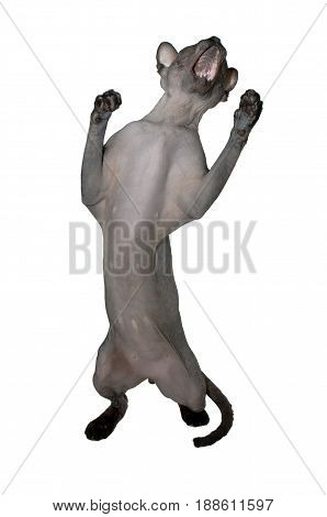 Cat of the Canadian Sphynx breed with open jaws on its hind legs
