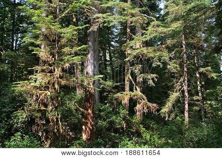 Canadian Rainforest in Pacific Rim National Park near Tofino BC Canada