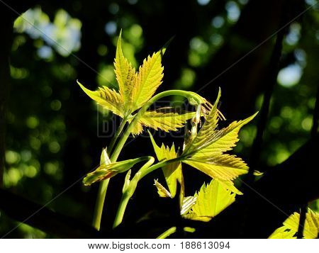 Springtime. Grapevine. Grapevine with young leaves, which are translucent in the backlight - close-up.