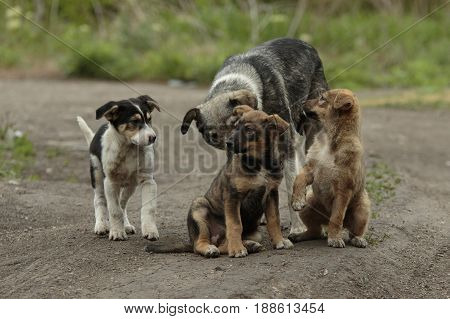 Three funny pooch puppies with their mom at nature