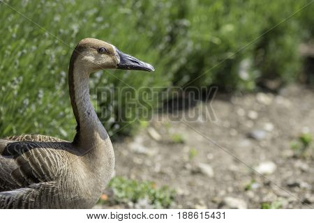 Swan goose (Anser cygnoides). Rare wild goose in profile with copy space. Large brown waterfowl bird with long neck and black serrated bill.
