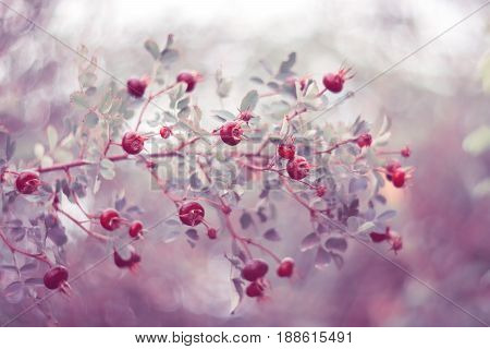 Rose hips on a beautiful background with shading. The berries of rose hips.